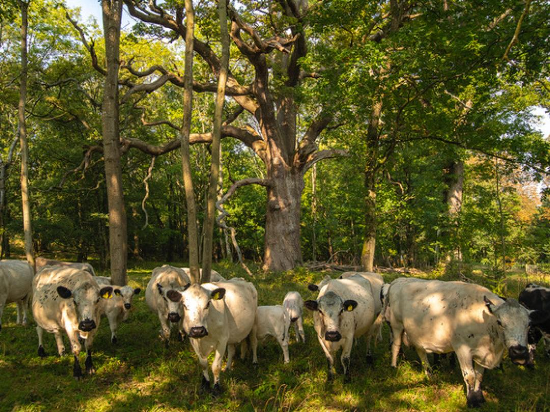 Cattle among the Ancient Oaks