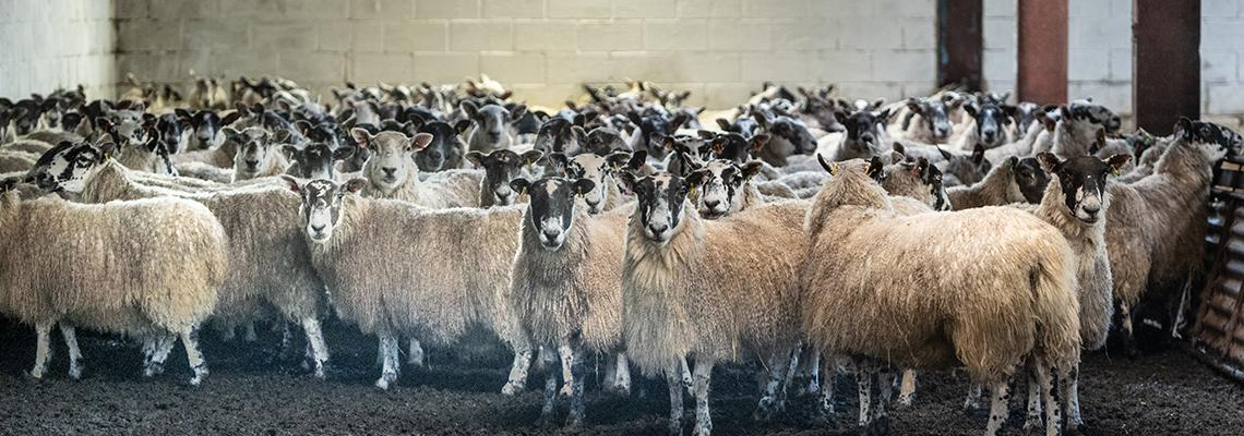 Scan Reveals Record Ratio for our Sheep Flock