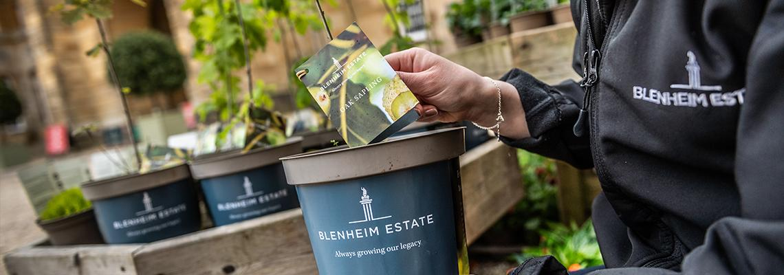 Saplings From Europe's Greatest Collection of  Ancient Oaks on Sale at Blenheim Palace