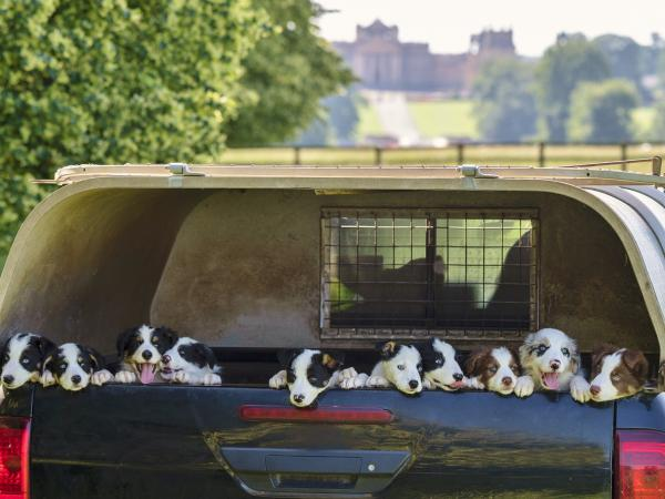 Shepherd's Cutie Pies – Sheepdog Puppies at the Palace